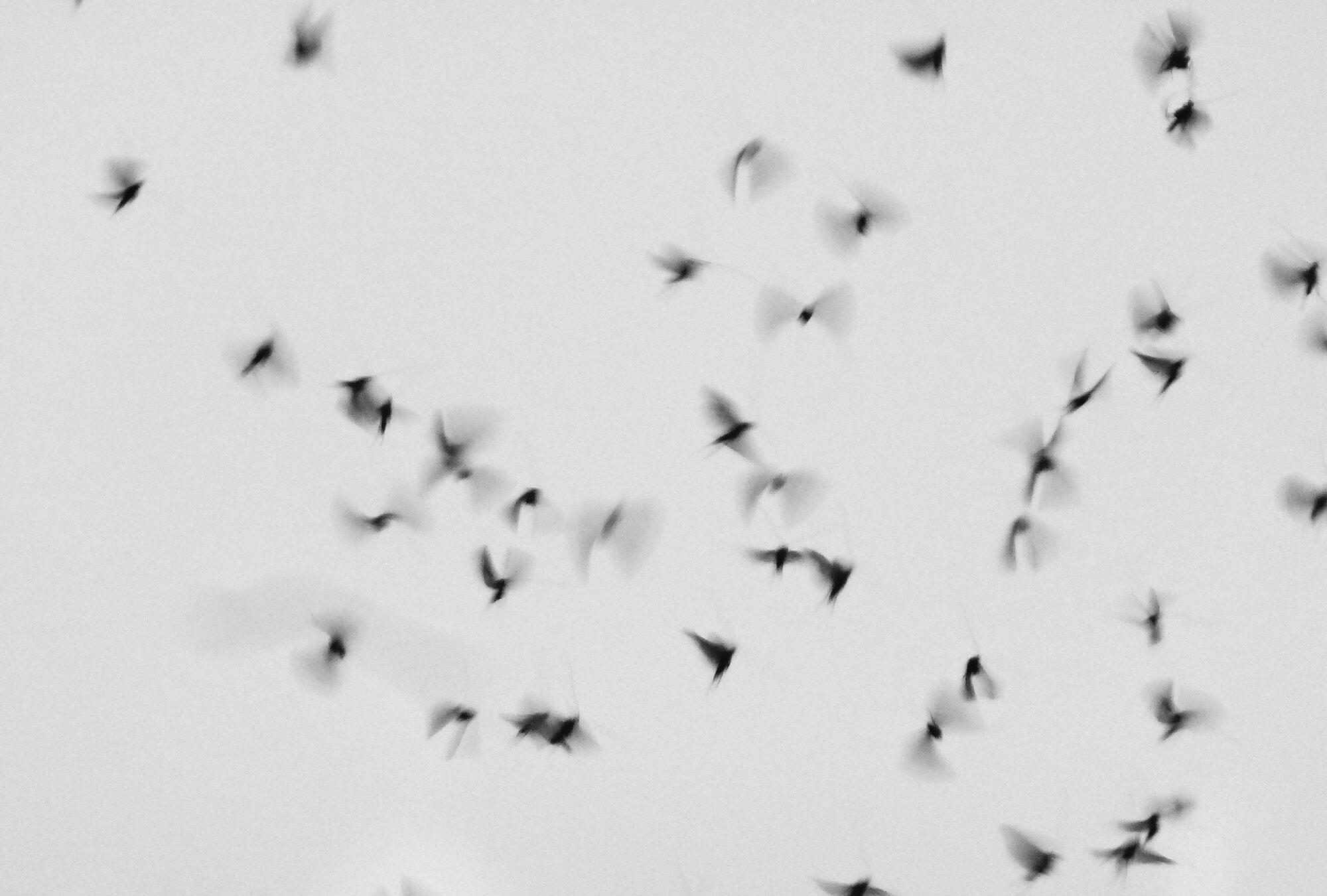 Revuelo de Pájaros